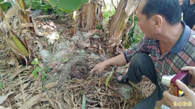 香蕉園現場留有不明的動物腳印,約一個人的手掌大小。(記者蔡文居攝)