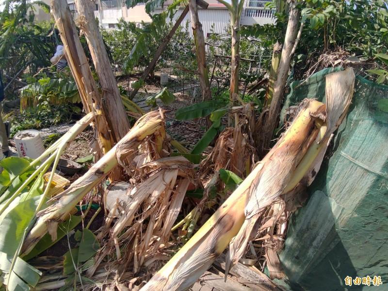 比人高的香蕉樹被攔腰折斷。(記者蔡文居攝)