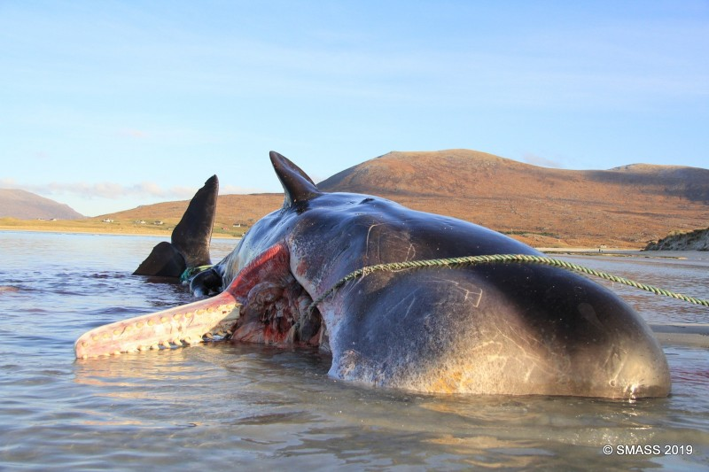 蘇格蘭哈里斯島 (Harris)的海灘上發現一條抹香鯨屍體,體內垃圾重大100公斤。(圖擷取自SMASS臉書貼文)