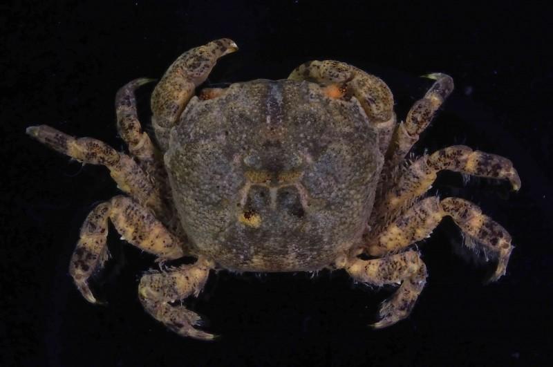 顆粒方顎蟹。(墾管處提供)
