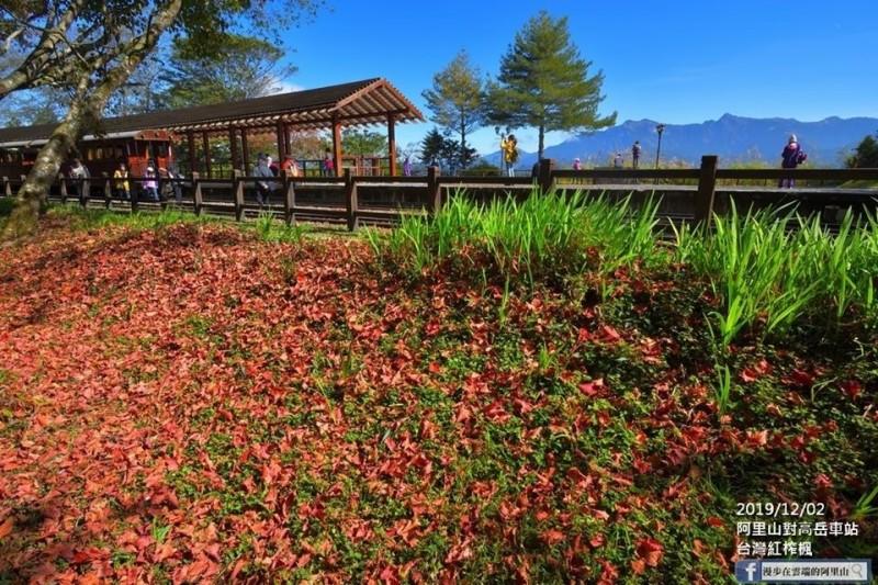 阿里山對高岳車站的楓紅地毯。(黃源明提供)