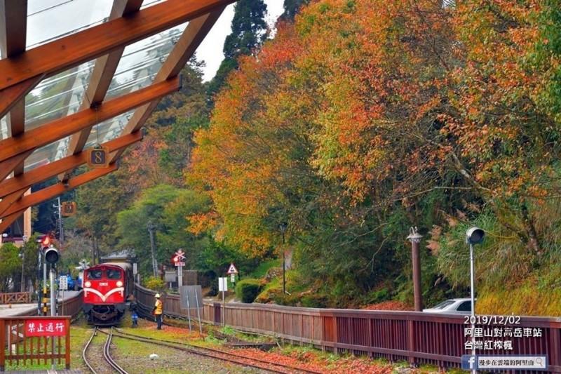 阿里山對高岳車站的楓紅。(黃源明提供)