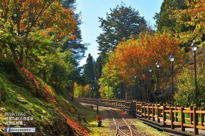 阿里山對高岳車站的楓紅,未來數週會更漂亮。(黃源明提供)