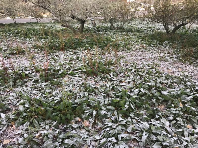受到大陸冷氣團南下影響,海拔2574公尺的福壽山農場露營區早晨結上厚厚一層白霜。(圖:福壽山農場提供)