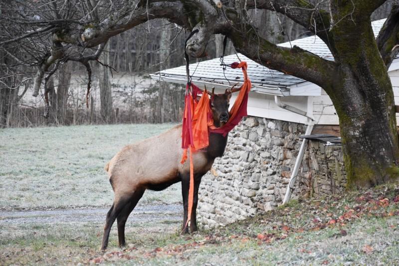 貪吃麋鹿闖入人類後院,意外遭樹上吊床纏上。(美聯社)
