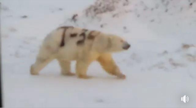 俄羅斯社群媒體瘋傳一隻北極熊身上被噴了巨大的「T-34」黑字的影像,專家對此相當震驚。(圖擷取自臉書影片)