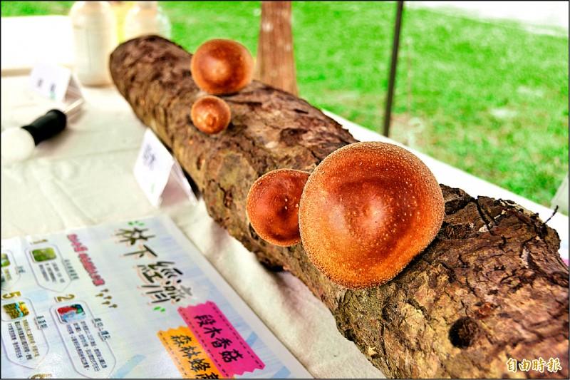 楓香段木所培植出的香菇。(記者王峻祺攝)