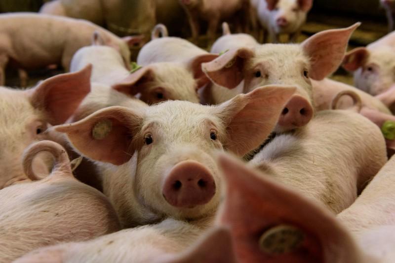非洲豬瘟疫情不斷延燒,蒙古、越南、朝鮮、韓國以及菲律賓等國都曾傳出災情。(歐新社資料照)