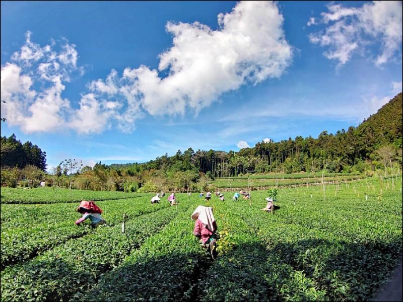 阿里山高山茶冬茶減產逾三成,但品質優於往年。(記者蔡宗勳翻攝)