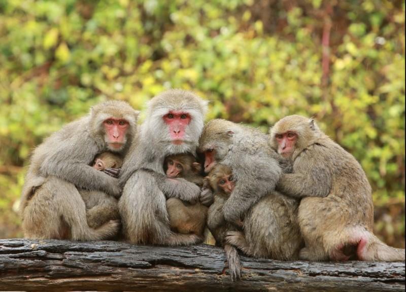 冷氣團來襲,大坑郭叔叔猴園的母猴們緊抱小猴取暖依偎,萌度破表。(郭叔叔獼猴生態區提供)