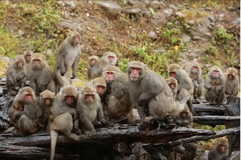 冷氣團來襲,大坑郭叔叔猴園的母猴們由猴王領軍,個個緊抱小猴取暖互相依偎,萌度破表。(郭叔叔獼猴生態區提供)