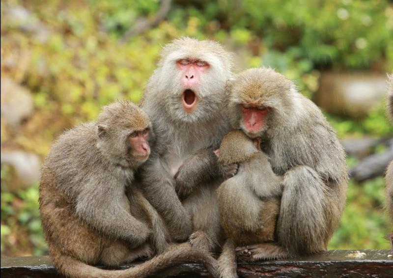 冷氣團來襲,大坑郭叔叔猴園的母猴們緊抱小猴,其他較大的孩子則依偎在媽媽身邊,互相取暖,非常可愛又感動(郭叔叔獼猴生態區提供)