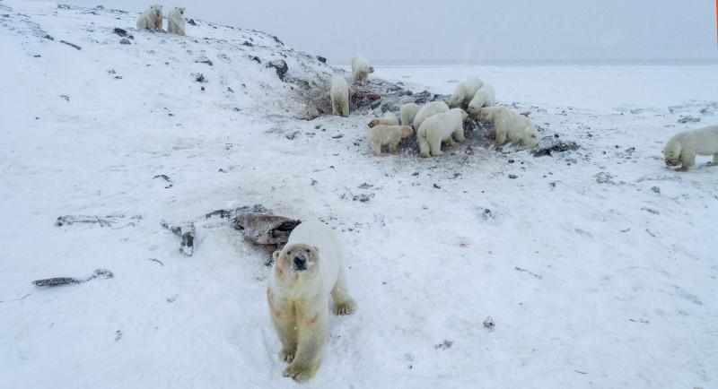 多達56隻北極熊聚集在俄羅斯北部羅開比(Ryrkaipy)村莊附近覓食。(法新社)