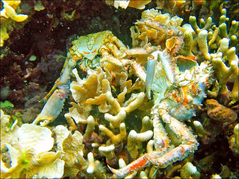 國際自然保護聯盟7日發布的重大報告指出,海水溶氧量的急速下滑將嚴重危害海洋生物多樣性。圖為巴拿馬西北部、加勒比海海域內,因海水溶氧量過低而死亡的珊瑚和螃蟹。(美聯社檔案照)
