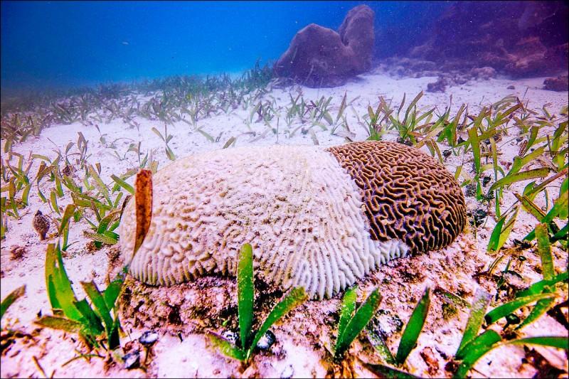 墨西哥在加勒比海沿岸的珊瑚,近年來有許多罹患珊瑚白化症,造成大批珊瑚死亡;科學家還不了解珊瑚白化症的原因。圖為墨國東部金塔納羅奧州外海的罹病珊瑚。(法新社檔案照)