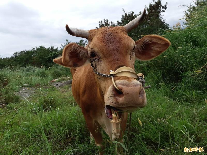 這隻母牛的唇被活活切割,嘴邊還掛著半邊快掉的牛唇。(記者黃明堂攝)