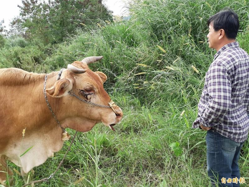 這隻母牛的唇被活活切割,嘴邊掛著快掉的牛唇,似向主人傾訴昨天驚悚遭遇。(記者黃明堂攝)