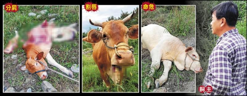 驚見小牛遭分屍,母牛「波蜜」滿頭刀痕被割唇,還有一頭遭重擊的牛奄奄一息,張姓飼主心痛不已。 (記者黃明堂攝及翻攝)