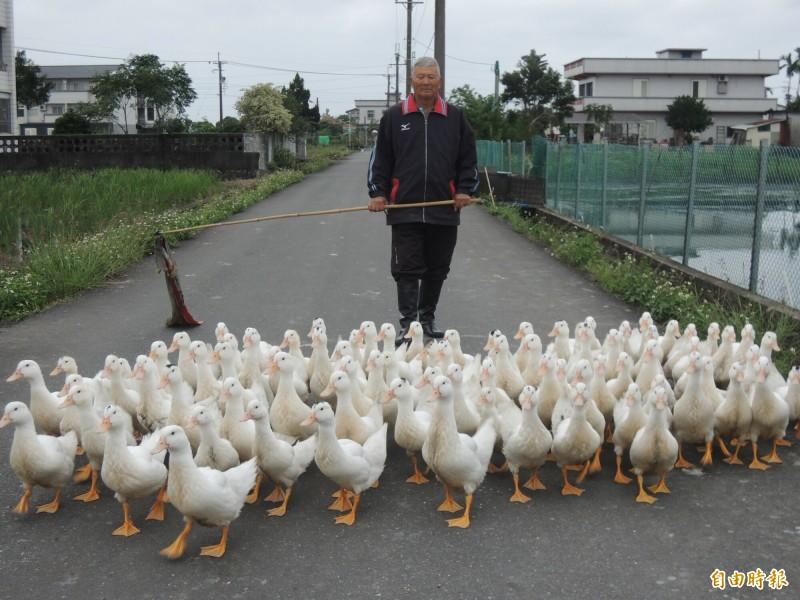 宜蘭縣三星鄉養鴨大王陳文連,讓200隻土番鴨變成訓練有素的鴨子兵團。(記者江志雄攝)