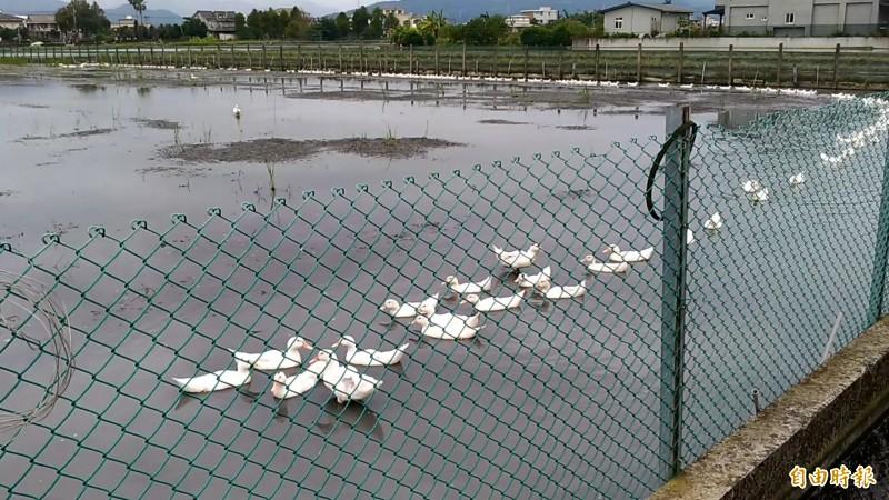 陳文連一聲令下,鴨子排成長長隊伍,從農田划水上岸。(記者江志雄攝)