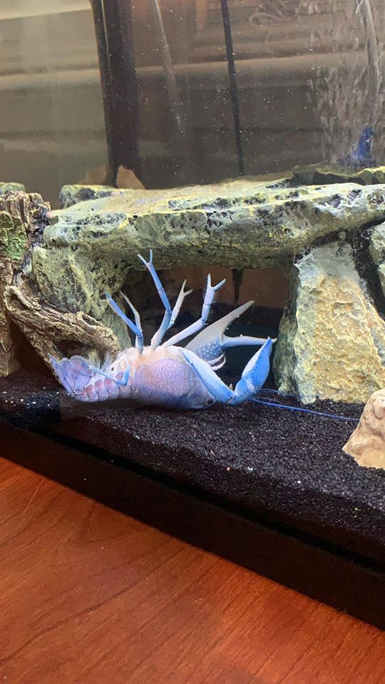 海莉所飼養的一隻藍色小龍蝦「自夾」後瘋狂掙扎、甚至翻肚崩潰,效果十足,與藍委陳玉珍自夾風波相似,引發台灣網友朝聖而一夕爆紅。(圖擷自Haley Miller臉書)