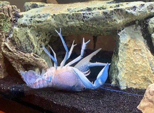 海莉所飼養的藍色小龍蝦「自夾」後瘋狂掙扎、甚至翻肚崩潰,這段影片因藍委陳玉珍夾手風波引發台灣網友朝聖而一夕爆紅。(圖擷自Haley Miller臉書)