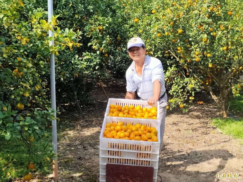 國姓鄉砂糖橘進入產期,農民忙著採收上市。(記者佟振國攝)