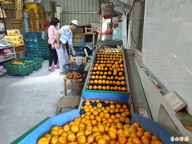 採收的砂糖橘進行表面清潔與分級。(記者佟振國攝)
