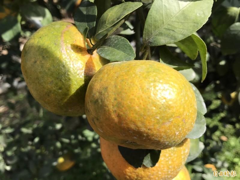 國姓鄉近幾年有農民改種砂糖橘,產量約10公頃。(記者佟振國攝)