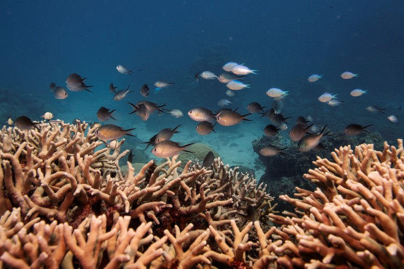美國國家海洋暨大氣總署(NOAA)宣布將對具有指標性的珊瑚礁,進行大規模復育。(路透社)
