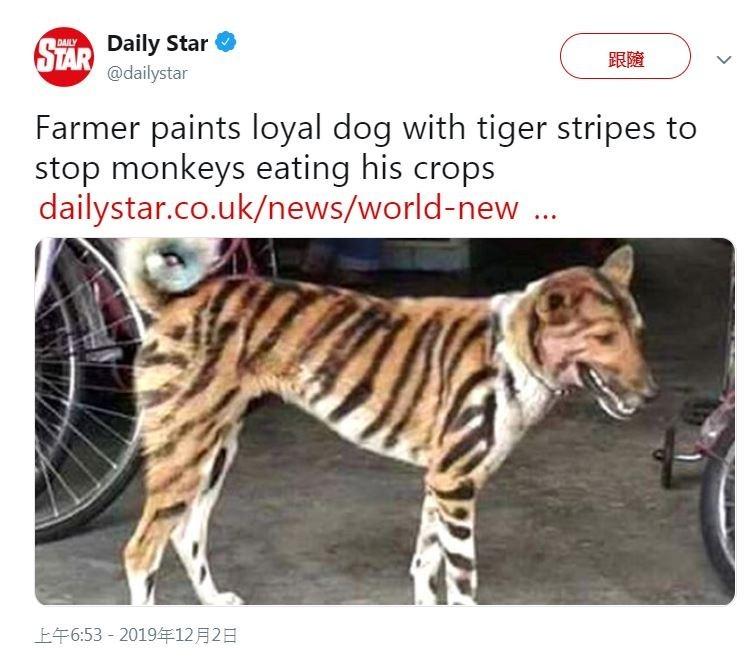 一名印度農民將土狗染成老虎的模樣,以驅趕破壞農田的猴子。(圖擷取自推特)