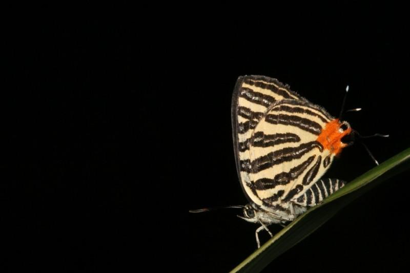 台師大和中興大學聯手共組團隊,以台灣較常見的虎灰蝶及其共生螞蟻「懸巢舉尾蟻」為研究對象,成功破解密碼,圖為虎灰蝶成蟲。(王俊凱攝、台師大提供)