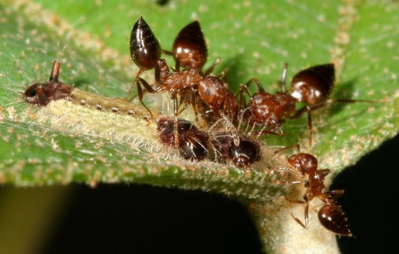 台師大和中興大學聯手共組團隊,以台灣較常見的虎灰蝶及其共生螞蟻「懸巢舉尾蟻」為研究對象,成功破解密碼,圖為正在被舉尾蟻照護的虎灰蝶幼蟲。(王俊凱攝、台師大提供)