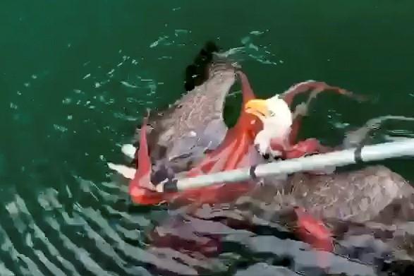 加拿大鮭魚養殖業者,驚見章魚緊緊纏繞著白頭海鵰。(路透)