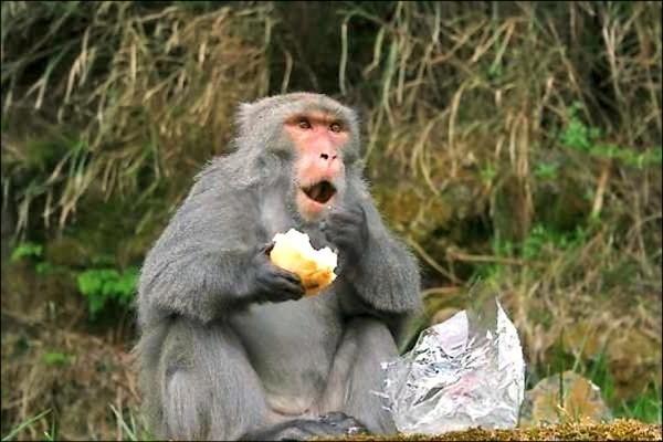 陽明山遊客餵食獼猴風氣盛,引發多起獼猴傷人事件,經社區反應,陽管處提供漆彈槍給居民驅猴。(資料照)