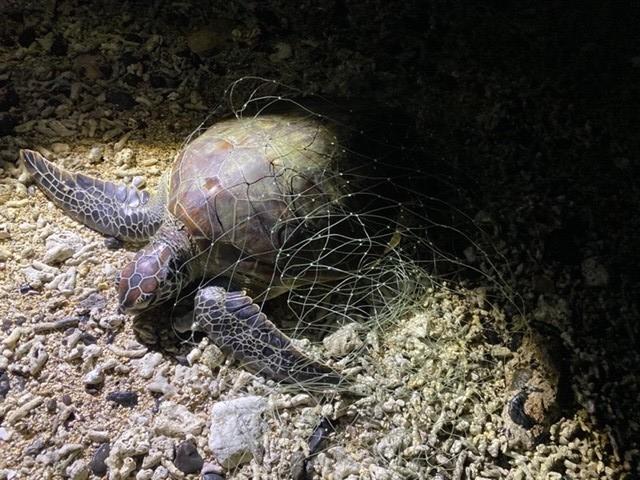 海巡人員在鳥嶼西南岸際,發現海龜遭漁網纏繞。(金馬澎分署第七岸巡隊提供)