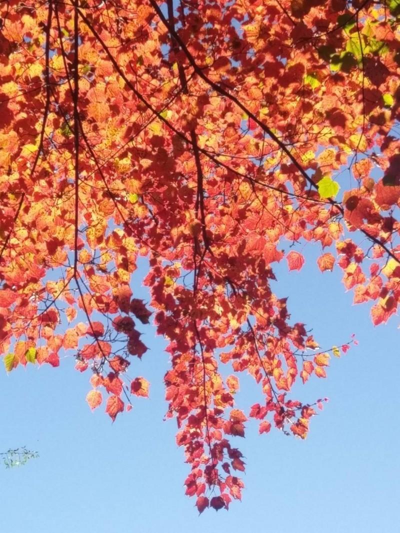 大雪山楓紅已八成,賞楓趁現在。(東勢林管處提供)