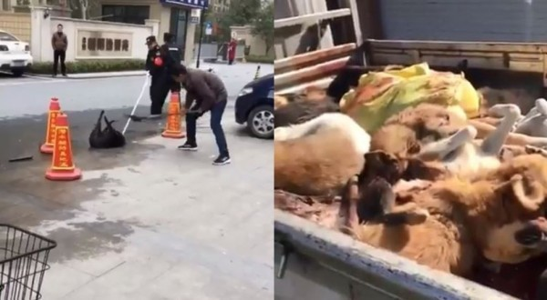最近北京市在非重點管理區頒布最新「養犬管理規定」,要求居民禁止飼養體高超過35公分的大型犬,並限制3日內自行處置,未處理者將遭到開罰,導致北京市內寵物醫院爆發安樂死潮。(圖擷取自綠黨)