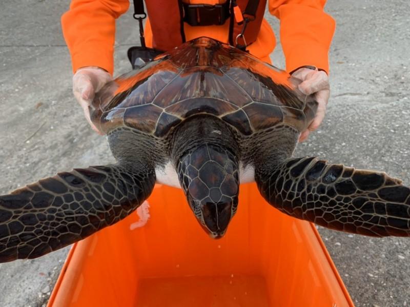 海巡人員將落難綠蠵龜帶返所內安置,等待轉送屏科大海洋生物博物館。(記者陳賢義翻攝)
