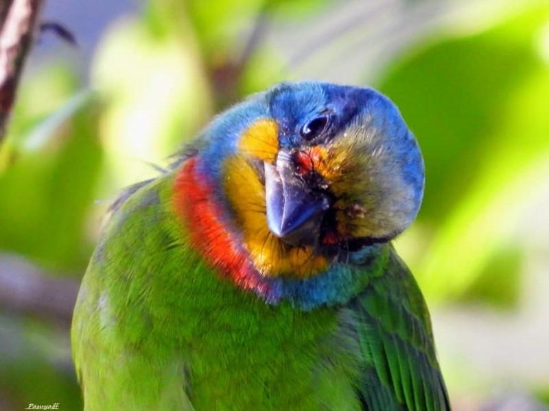 五色鳥搖頭晃腦的可愛俏模樣。(莊信然提供)