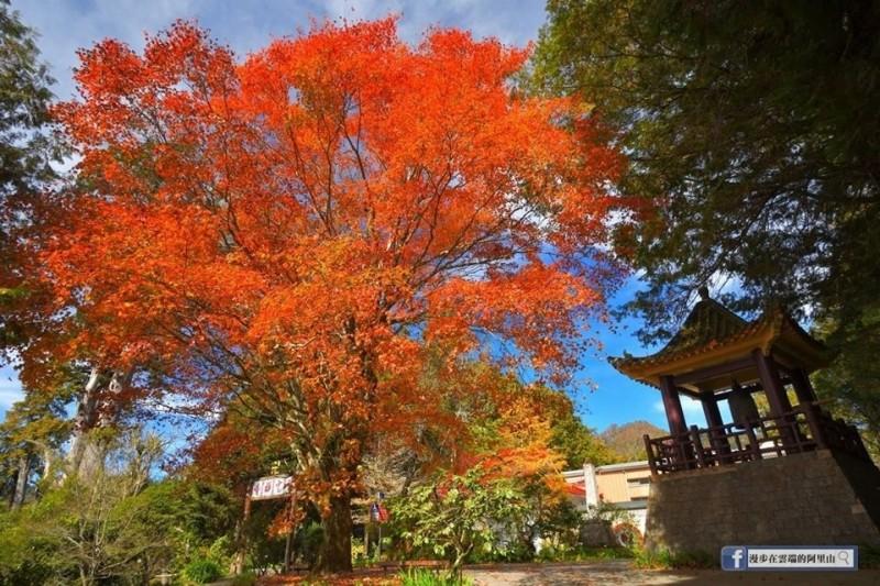 阿里山最美的青楓老樹在慈雲寺。(黃源明提供)