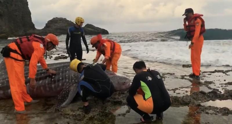 豆腐鯊擱淺綠島睡美人礁岩,海巡與民眾救援中。(記者黃明堂翻攝)