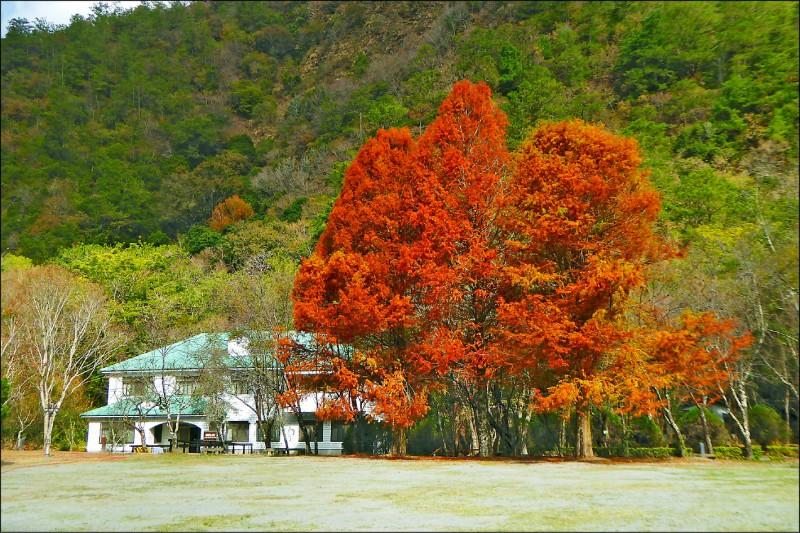 奧萬大綠野山莊前3棵巨大落羽松全紅了。(南投林管處提供)