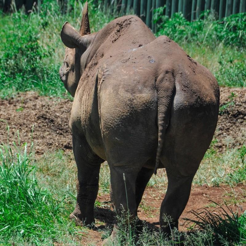 坦尚尼亞的恩戈羅恩戈羅保護區管理局表示,保護區內據信是世界上最長壽的雌性黑犀牛「佛斯塔」已經去世,享年57歲。(圖擷取自恩戈羅恩戈羅保護區管理局臉書)