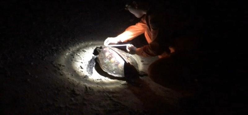 鳥嶼安檢所弟兄,深夜救援擱淺海龜。(金馬澎分署第七岸巡隊提供)