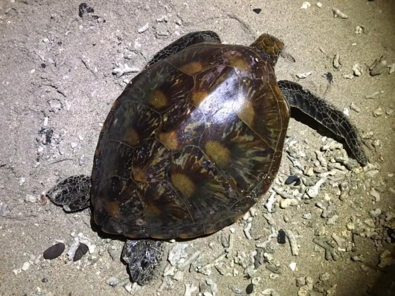 鳥嶼搶救的海龜活體,經鑑定為綠蠵龜。(金馬澎分署第七岸巡隊提供)