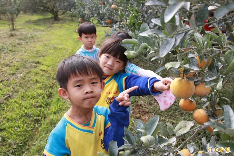 小朋友參訪茂谷柑園,了解家鄉特產水果。(記者林國賢攝)