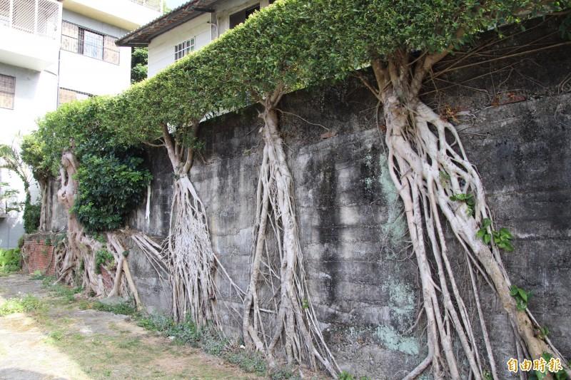 用有生命的樹根當「壁畫」,新竹縣關西鎮仁安里拱子溝1處擋土牆的風景讓人驚艷。(記者黃美珠攝)