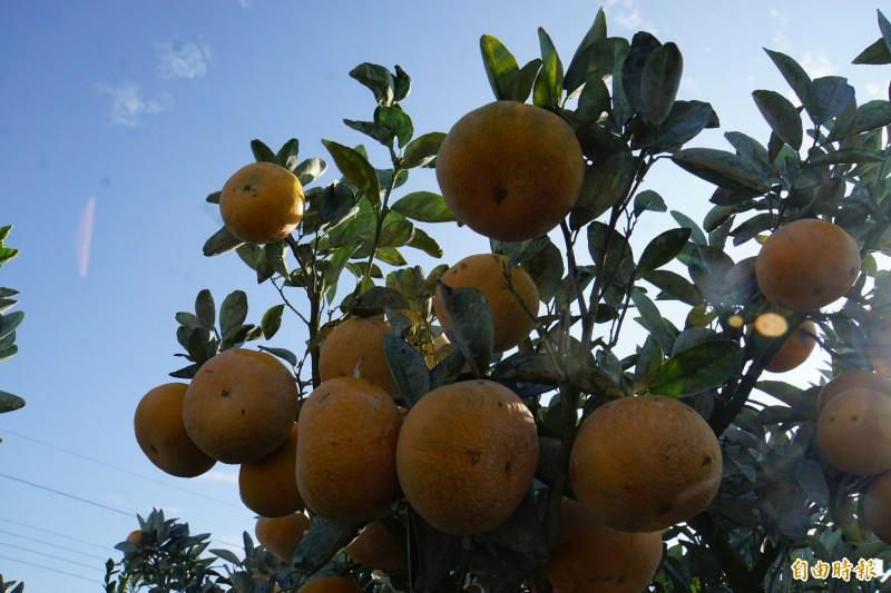 雲林縣的茂谷柑將外銷到馬來西亞。(記者詹士弘攝)