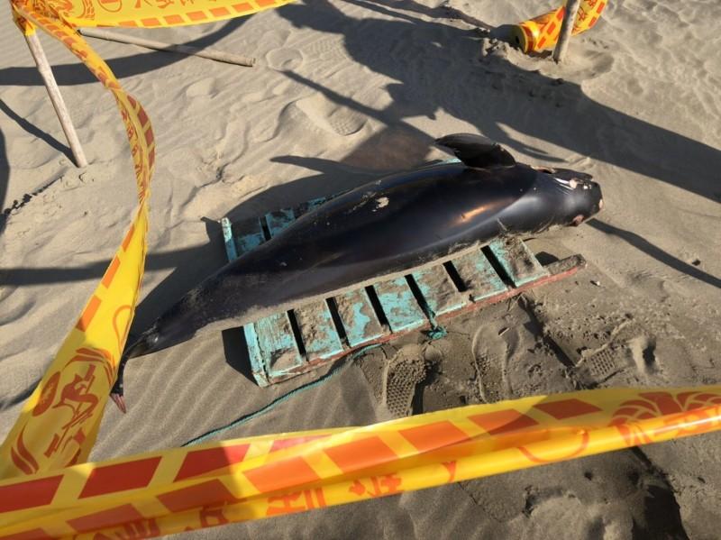 全世界數量僅剩1000隻,一隻江豚昨天被發現陳屍苗縣塭仔頭海灘。(海巡署提供)